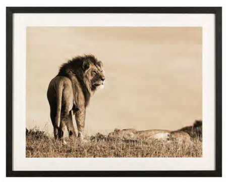 Lejon på savannen 1